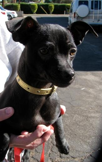 ... in Scottsdale Arizona - Chiweenie Black Chihuahua Dachsund mix
