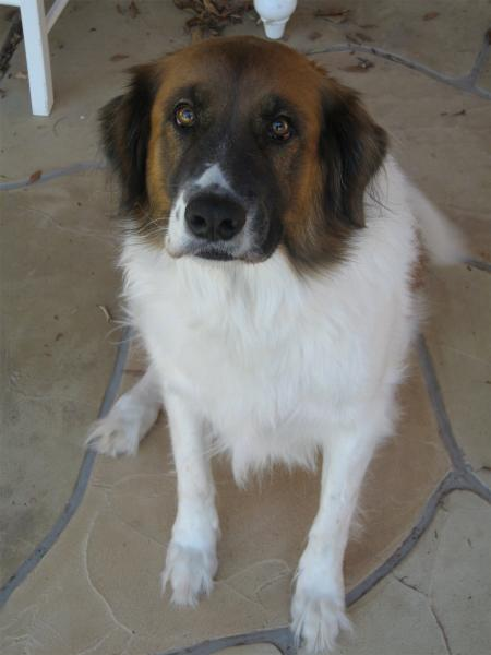 ... Adoption in Scottsdale Arizona - Australian Shepherd/St Bernard mix