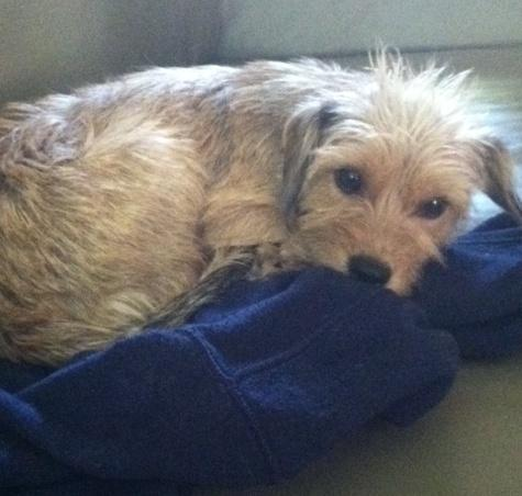 Wire Haired Cairn Terrier Mix