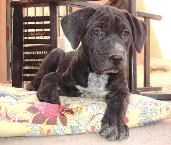 Adopt A Dog Roxie Scottsdale Arizona