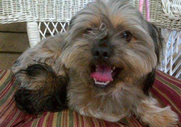 ... for Adoption in Scottsdale Arizona - Shih-Tzu/ Carin Terrier brown/tan