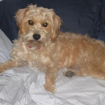 Terrier Long Hair Mix Pictures | Dog Breeds Picture