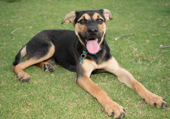 Post picture of your dogs - Page 6 - NeoGAF |Tri Color German Shepherd Breeders