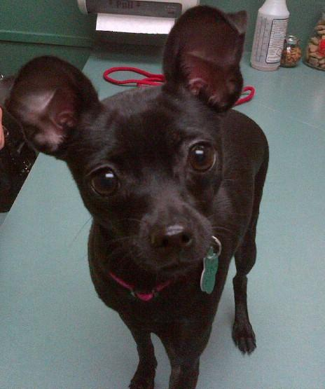 Black deer head chihuahua dog quot chicki quot for adoption in scottsdale