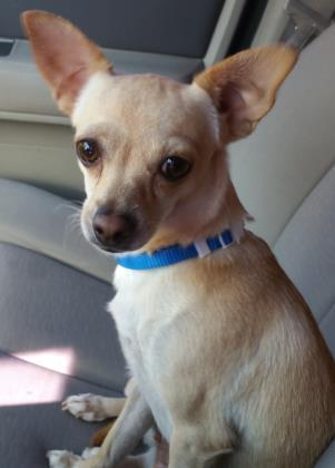 Adopt a Dog - Mini Bean from Scottsdale Arizona