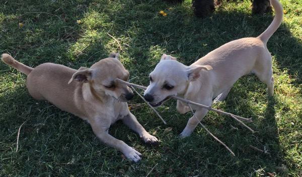 Adopt a Dog - Frankie(2) from Scottsdale Arizona