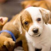 Adopt a Dog - Hazel from Scottsdale Arizona