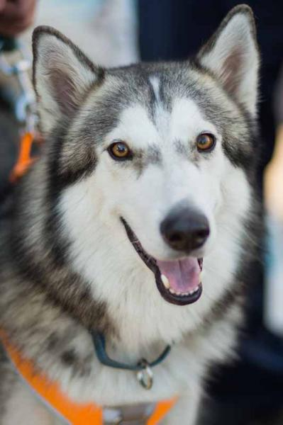 Adopt a Dog - Nikolas from Scottsdale Arizona
