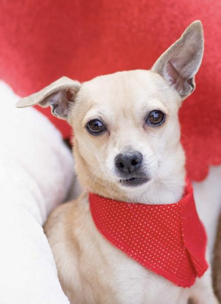 Adopt a Dog - Fredrico**Part of a bonded pair** from Scottsdale Arizona