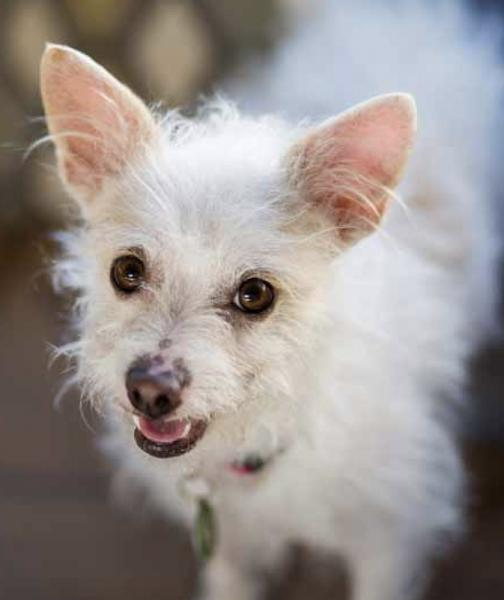 Adopt a Dog - Sprout from Scottsdale Arizona