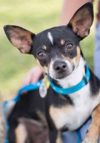 Adopt a Dog - Valor from Scottsdale Arizona