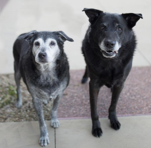 Adopt a Dog - Jesse *Part of Bonded Pair, Jake* from Scottsdale Arizona