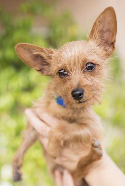 Adopt a Dog - Misha from Scottsdale Arizona