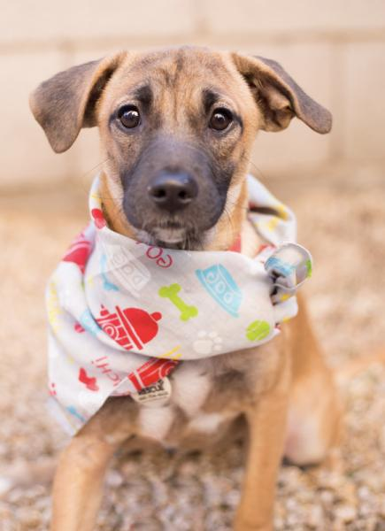 Adopt a Dog - Brita from Scottsdale Arizona