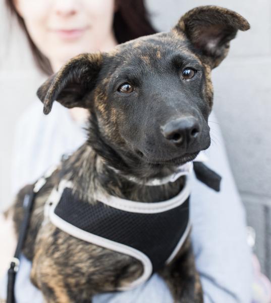 Adopt a Dog - Kai from Scottsdale Arizona