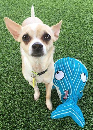 Adopt a Dog - Pixel from Scottsdale Arizona