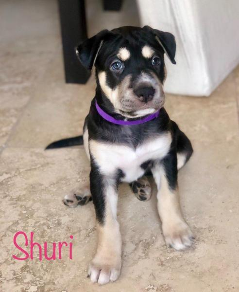 Adopt a Dog - Shuri from Scottsdale Arizona