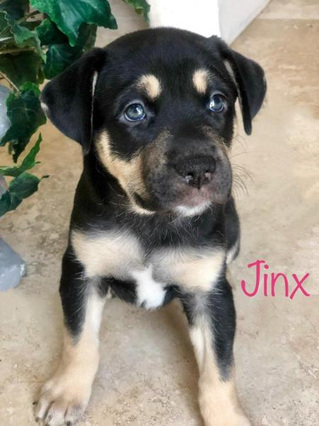 Adopt a Dog - Jinx from Scottsdale Arizona
