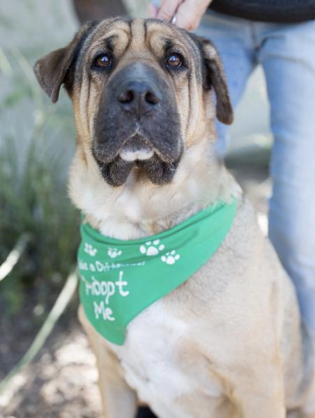 Adopt a Dog - Percy from Scottsdale Arizona