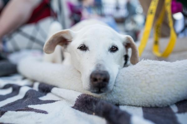 Adopt a Dog - Keva from Scottsdale Arizona