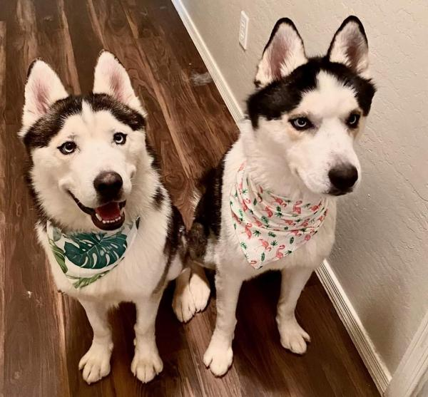 Adopt a Dog - Kimi (Bonded brothers) from Scottsdale Arizona