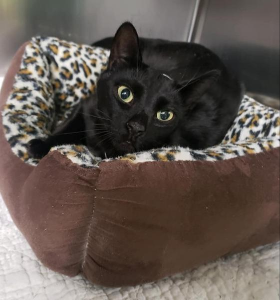 Adopt a Cat - Reese from Scottsdale Arizona