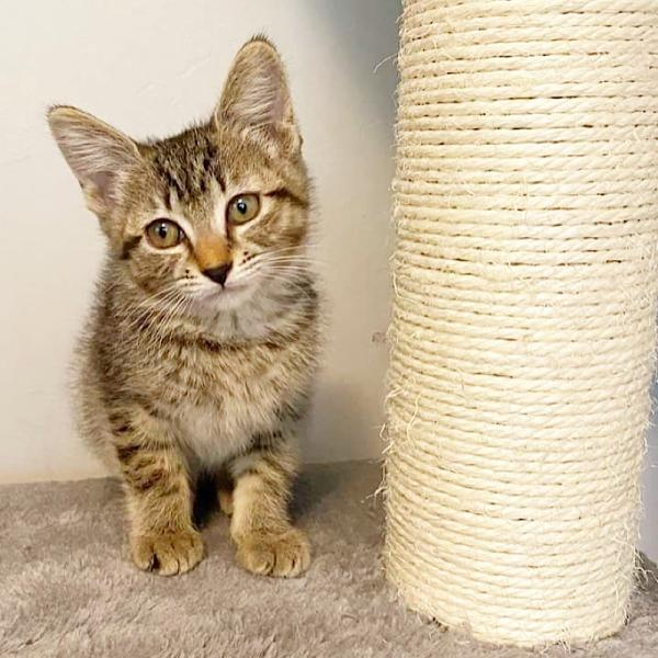 Adopt a Cat - Penny from Scottsdale Arizona
