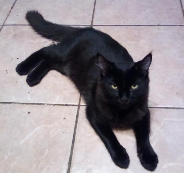 Adopt a Cat - Dale part of a bonded pair with Chip. from Scottsdale Arizona