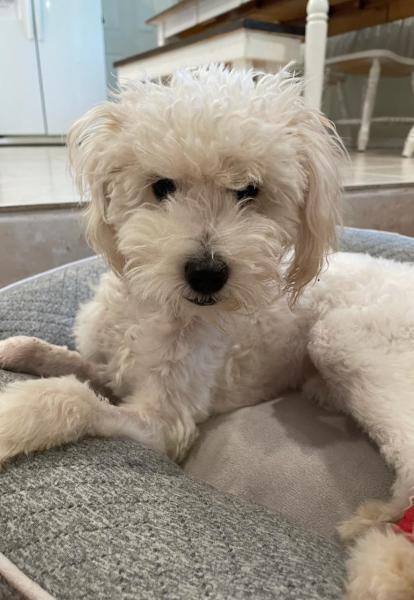 Adopt a Dog - Felix from Scottsdale Arizona