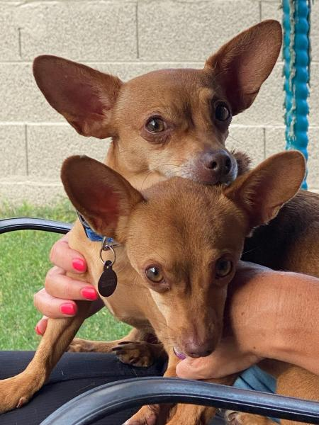 Adopt a Dog - Harley and Twinkles (Bonded Pair) from Scottsdale Arizona